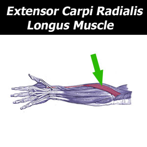 extensor forearm elbow muscle